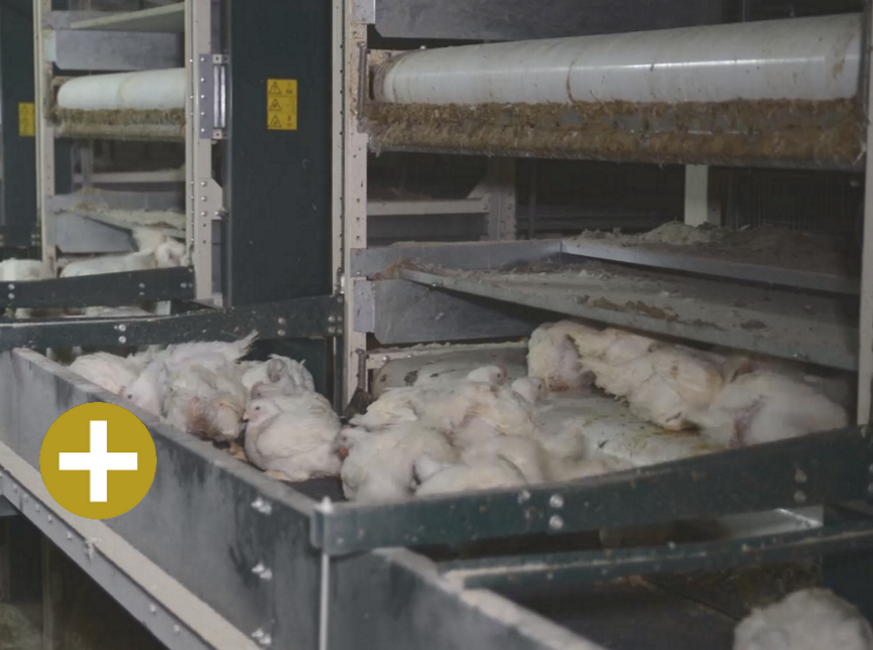 FIT Farm Innovation Team Golden Broiler PRIME - Broiler cross conveyer with chicks