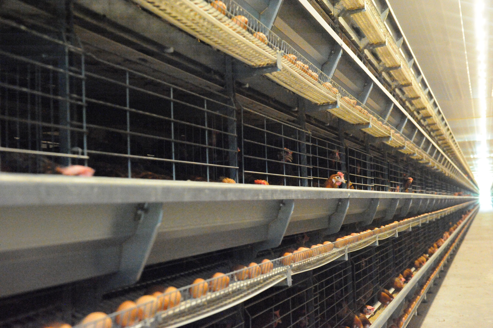 FIT Farm Innovation Team Golden Layer cage system Prime eggs and chicken 1