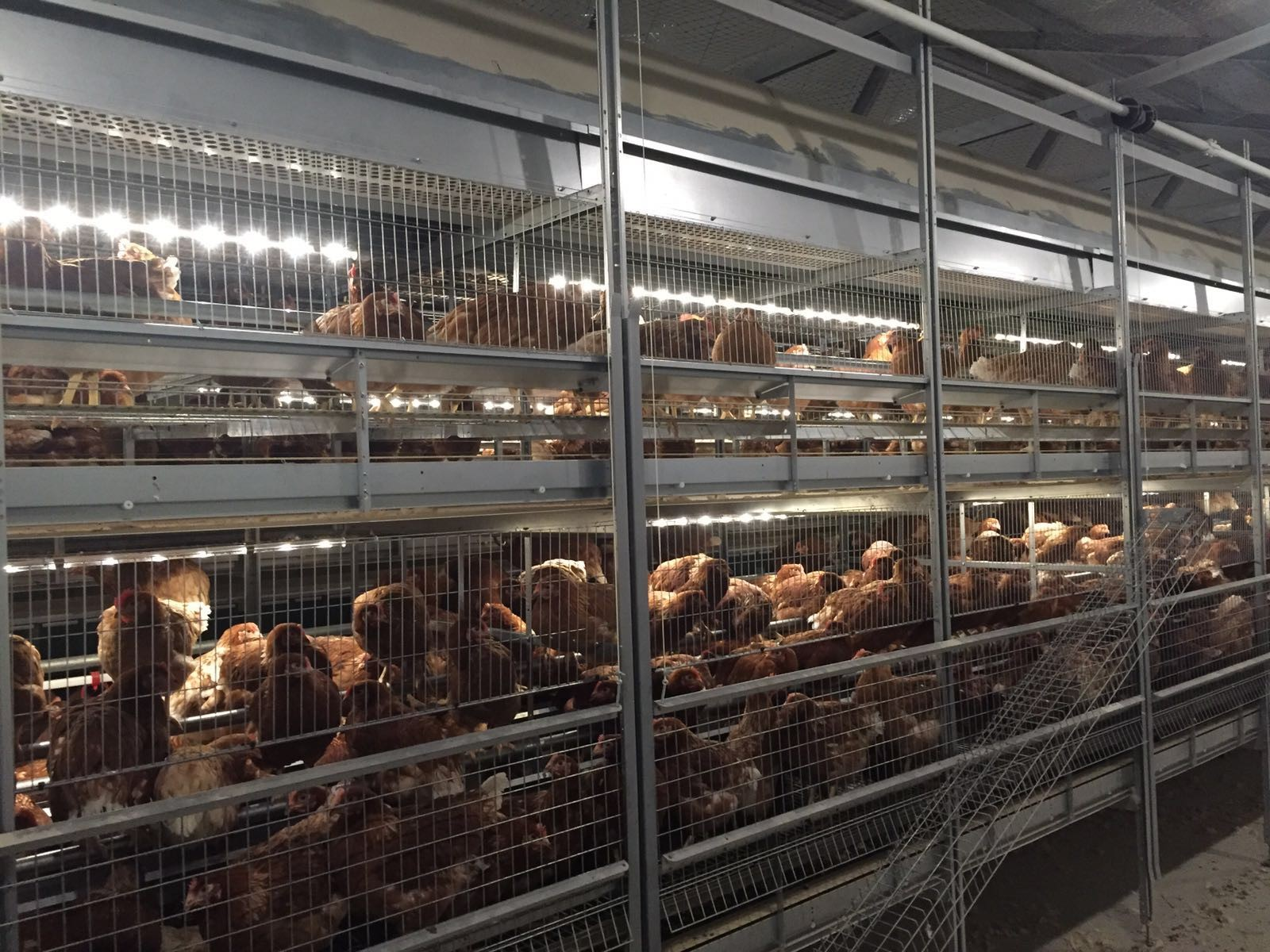 Fit Farm Innovation Team Golden Layer cage free aviary NATURE 1
