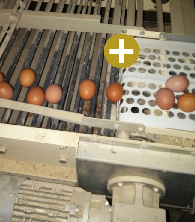 Fit Farm Innovation Team Golden Layer cage free aviary egg conveyer delivery
